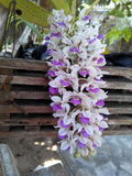 My flowers. Orchids changkra botany leaf pot Royalty Free Stock Photo