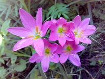 My flowers. Pink nature beautiful yellow Royalty Free Stock Images