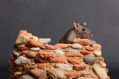 My fortress. Domestic rat in a small stone fortress Royalty Free Stock Image