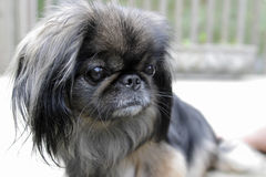 My fotomodel - dog of pekines. Royalty Free Stock Images