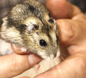 My friend. Hamster royalty free stock images