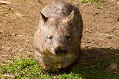 My Friend. An iconic Australia native animal - the Southern Hairy-Nosed Wombat stock photography