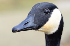 My friend the goose. Canada goose looking for a handout at the Reifel Bird Sanctuary in Delta, BC, Canada Royalty Free Stock Photos