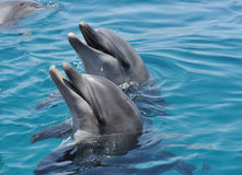 My friends dolphins Royalty Free Stock Photo