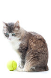 My game. Cat with tennis ball on white Royalty Free Stock Photo