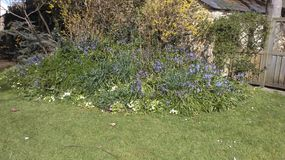 My garden. Bluebells in the rockery Stock Images