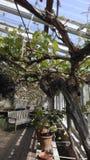 My garden. Greenhouse lemons and vine Royalty Free Stock Photo