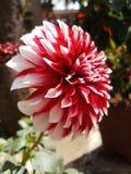 My gardens flower royalty free stock image