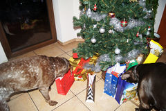 ``This is my gift, and that your rest we leave them``. Perfect dogs Christmas - German pointer selects their own gift Royalty Free Stock Photo