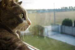 Grey cat staring at the window stock images