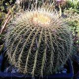 My Golden barrel baby. Golden barrel.  Cacti.  Cactus Stock Photo