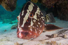 My Good Side. The Nassau Grouper, Junkanoo, poses for the camera stock image