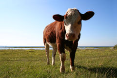 This is my grass!. Funny cow that seem to be angry with intruders on his grassland royalty free stock photos