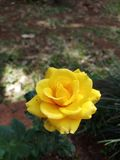 My grdens Yellow rose plant wow royalty free stock image