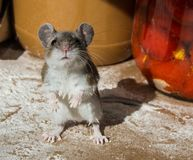 My hands are dirty. A flour encrusted wild house mouse caught among food containers in a kitchen cabinet. Standing up on his haunches, a wild brown house mouse Royalty Free Stock Photo