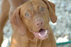 My Happy Face. Male Vizsla Stock Photography