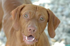 My Happy Face. Male Vizsla Royalty Free Stock Image