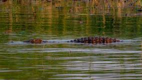 Crocodile in the water in the mighty Zambezi, Victoria Falls, Zi stock photo
