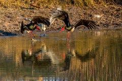 Grey heron defending its terretory from 2 saddle-billed storks, stock photo