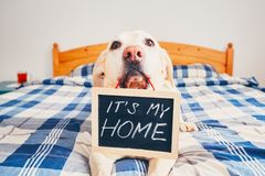 It is my home. Dog in home. Yellow labrador retriever lying in bed and holding blackboard with the inscription: `It is my home Royalty Free Stock Images