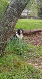 My hound my heart. This is my beautiful mixed breed dog Buddha . He is a Bassett hound Labrador retriever mix . He is sitting amongst the grass and trees after stock photos