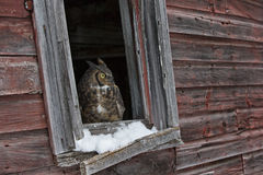 This is my house. A great horned owl sitting in window sill of farm barn Stock Photo