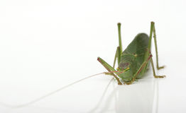 My Katydid Royalty Free Stock Image