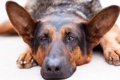 My lazy Dog Stock Image