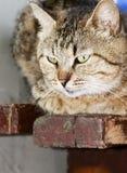 Myśli nieociosany kot Obrazy Royalty Free