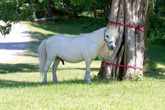 My lil Pony. A white pony tied to a tree in Poughkeepsie, NY Royalty Free Stock Image