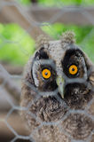 My little baby OWL Pet! Stock Photography