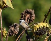 My little chickadee. An chickadee sitting on a sunflower in a sun flower field Royalty Free Stock Photo