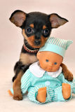 My Little Friend - Russkiy toy dog with baby toy. Portrait of lovely short-hair black anf tan color Russkaya toyka Russian toy-terrier, Russkiy toy puppy with Royalty Free Stock Photography