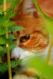My Little Gardener LEO. My wonderful Leo plays hide-and-seek in the ferns, of my garden; picture taken while taking our daily stroll in the garden, at my home Stock Photography