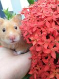 My little Hamster. Flowers. royalty free stock photos
