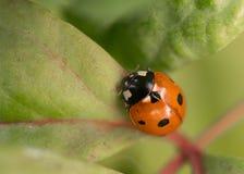 My little ladybug Stock Photos