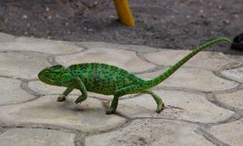 My Love Green Friend Chameleon. Chameleons or chamaeleons family Chamaeleonidae are a distinctive and highly specialized clade of Old World lizards. Chameleons royalty free stock photo