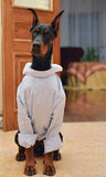 My lovely dog. My lovely friendly dog doberman in T-short stock photo
