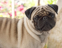 My lovely dog pug name Zumo. My puppy pug name Zumo Royalty Free Stock Images