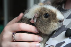 My lovely pet, guinea pig Royalty Free Stock Images