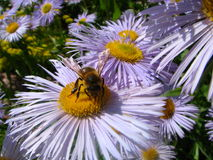 It is my lunch table 2. Bee assembling nectar on a flower Stock Photo