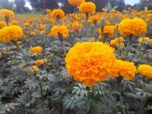 My marigoko. Flowers yellow garden park Stock Photography