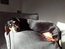 My mini dachshund enjoying the sun royalty free stock image