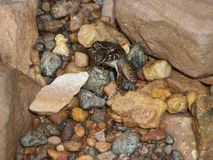 My miniature toad, hidden, Canaima royalty free stock photo