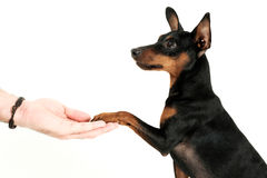 My minpin friend stock images