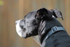 My model staring into the distance. Pitbull mixed with boxer staring at something in the distance Stock Images