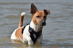 My 8 months old Jack Russel Stock Photography