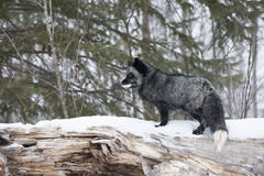 This is my mountain. Silver fox standing on log in deep snow Royalty Free Stock Images