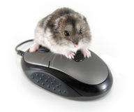 My mouse!. Little hamster sitting on computer mouse Stock Photos