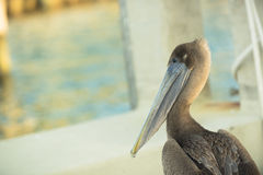 My neck hurts! a Pelican hangs on a boat in Southe. A local pelican sits on the dock watching and waiting in West Palm Beach, Florida Royalty Free Stock Photo